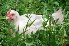 chickengrass_72dpi