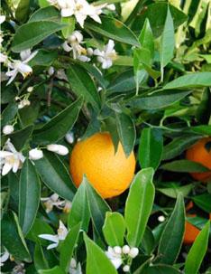 valencia_orange_72dpi
