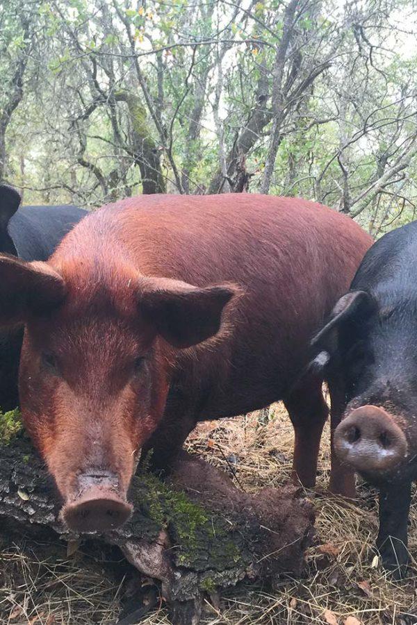 brush-arbor-pigs