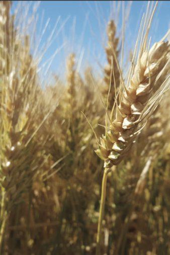 wheat-stalks